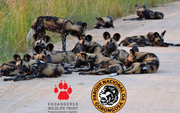 Wild Dogs return to Gorongosa National Park