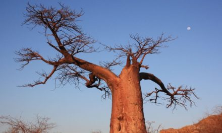 Africa's Tree of Life is dying