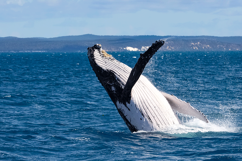 Excitement builds as East Coast Humpback Whale Survey begins again in Cape Vidal, iSimangaliso after a near two-decade absence