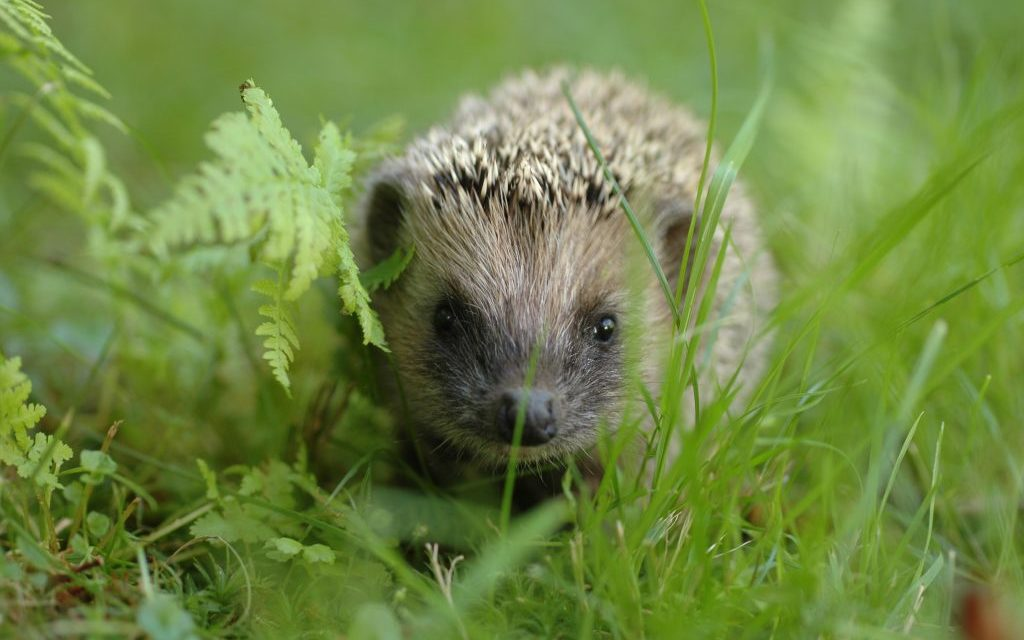 Creature Feature – Hedgehog