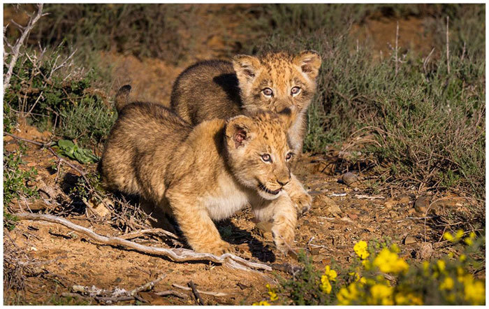 Sylvester the Lion – Now a proud father