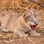 First ever lion cubs born through artificial insemination worldwide