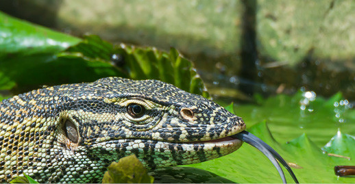 Creature Feature – Monitor Lizard