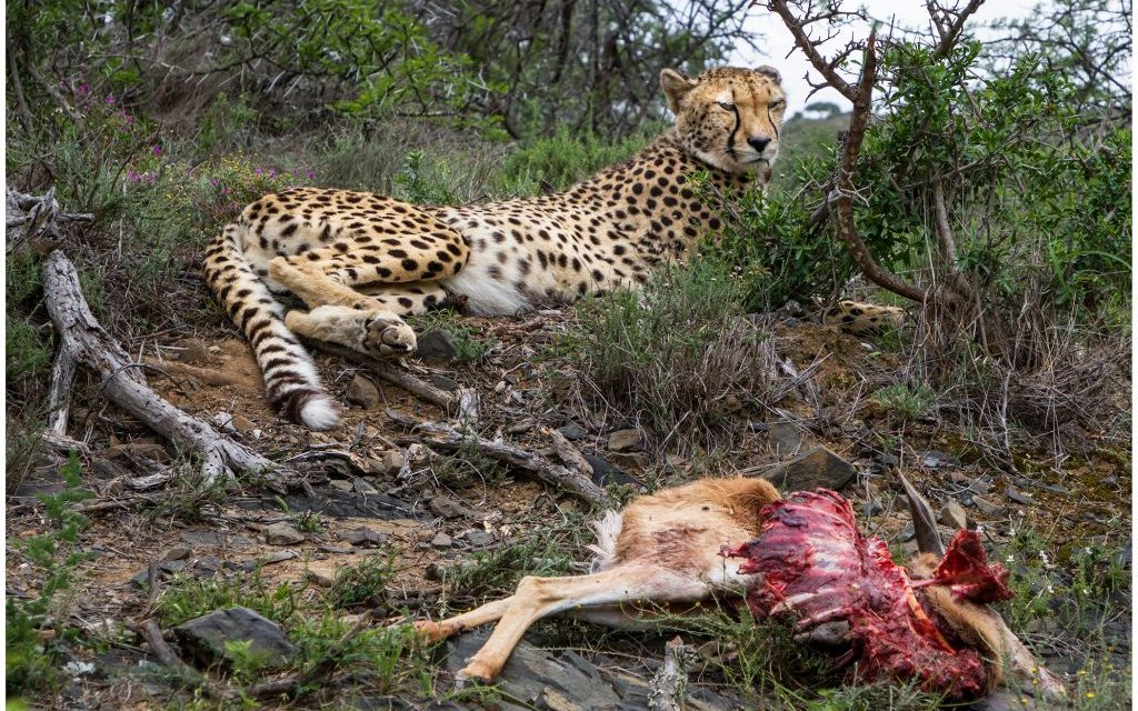 Captive Born Cheetah Makes Her First Kill