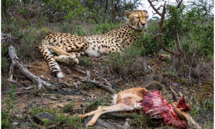 Captive Born Cheetah Makes Her First Kill