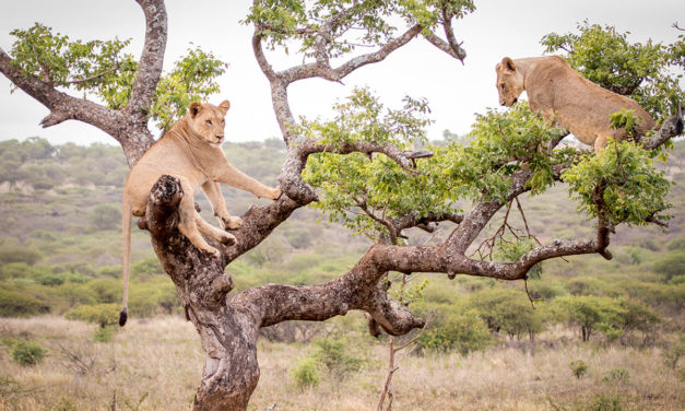 Manyoni's Arboreal Lions
