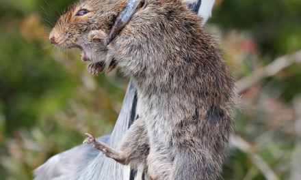 Creature Feature – Vlei Rat