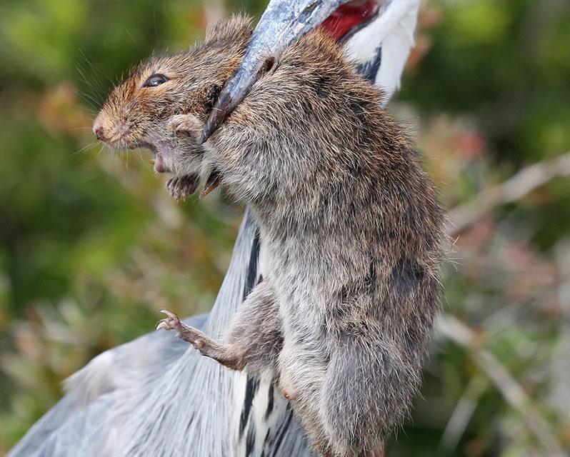 Creature Feature – Vlei Rat
