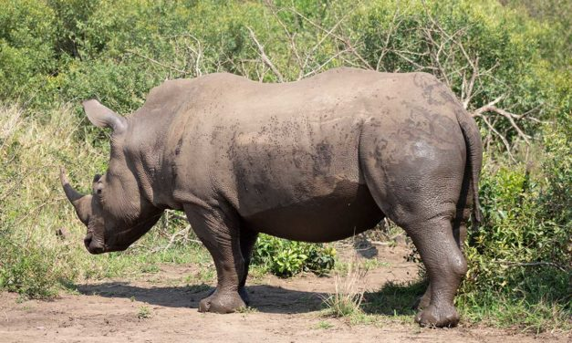 Private Rhino Farmer Forced into Selling Prime Nature Estate in Order to Save 1732 Rhinos