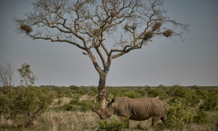Rhino Tears Wine Raises R2mil To Combat Poaching