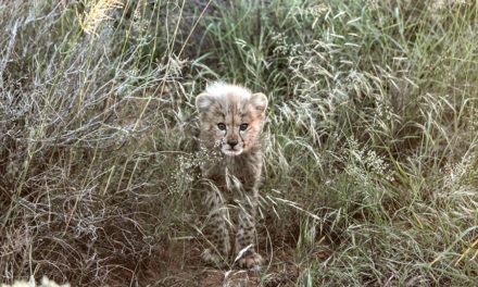 Amakhala Game Reserve welcomes two cubs sired by the first male to leave the Cheetah Wilding & Release Project