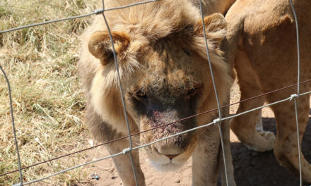 The writing is on the wall for the captive lion breeding industry