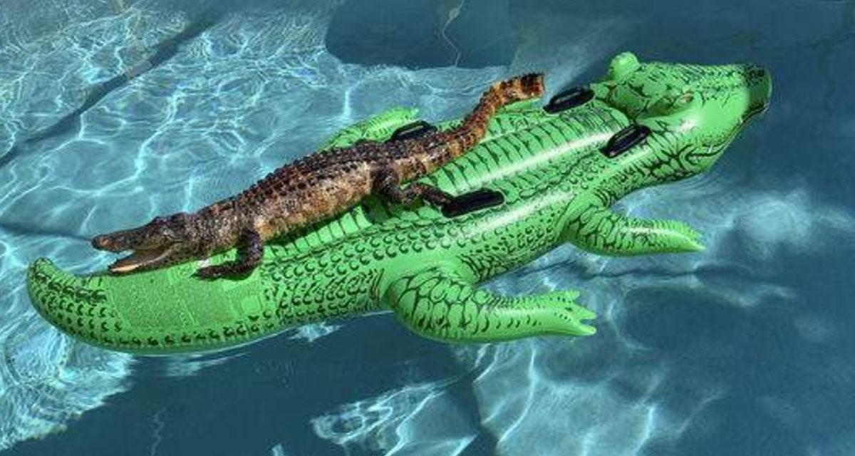 Alligator on Vacation