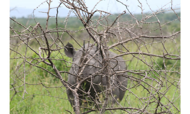 Black Rhino encounter exaggerated – Guide discharged and eager to get back into the Field