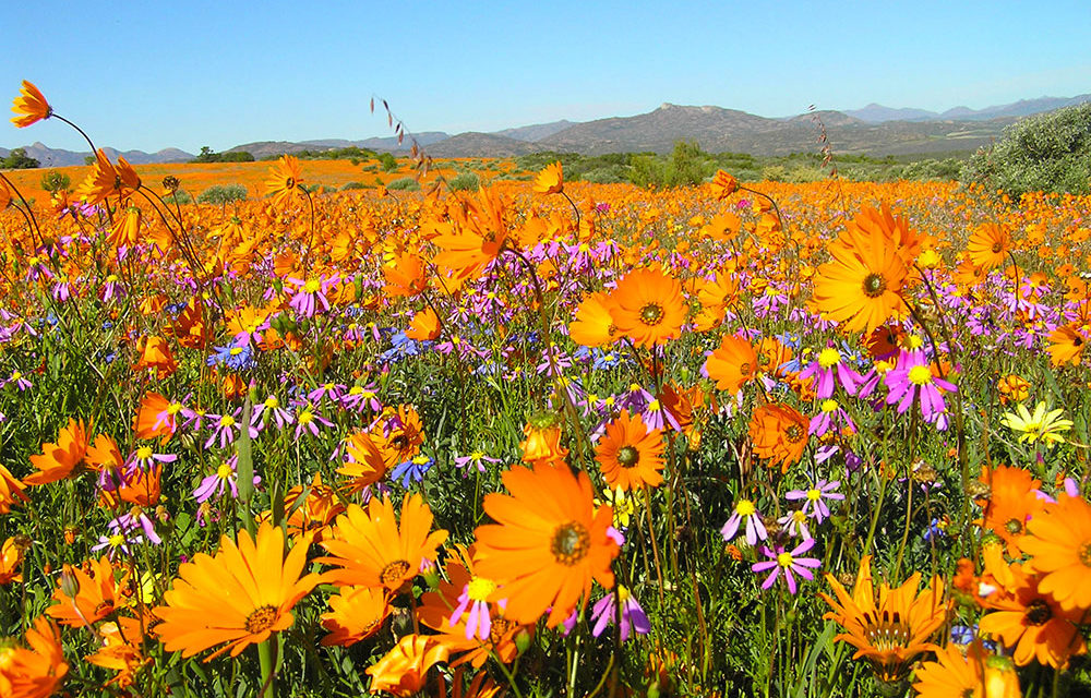 Spring has sprung: 5 best places to view the wildflowers around South Africa